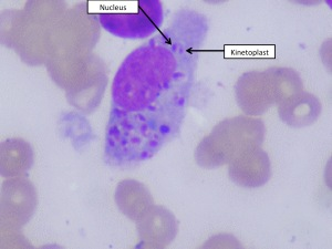 "Leishmania-infected macrophage. Arrows indicate the two ""bodies"" within the unicellular parasite"""