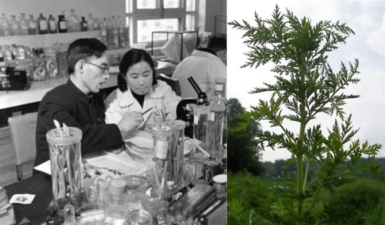 Left - 1951 photo of Tu Youyou with her teacher Lou Zhicen. Right - Artemisin annua plant (Credit: Wikipedia)
