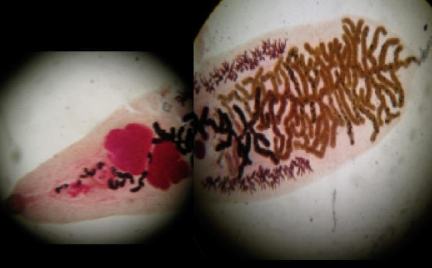 parasitex