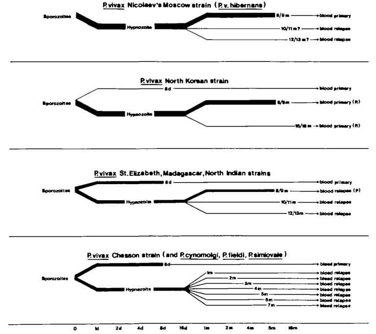Vivax-hypnozoite1982