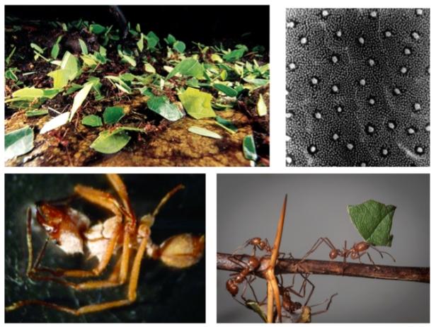 Ant-Strep-2